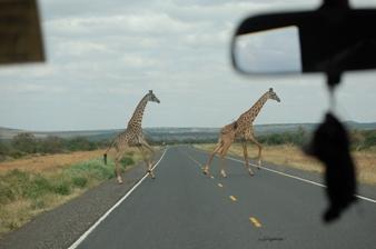 20120702drivegiraffe